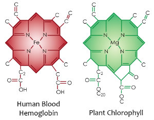 Chlorophyll and Hemoglobin: comparing the molecular structure
